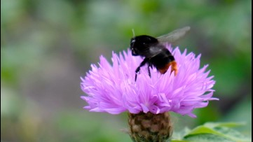 The Fascinating Way Bumblebees Are As Smart As Humans