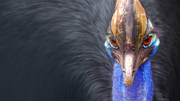 Why This is the World's Most Dangerous Bird