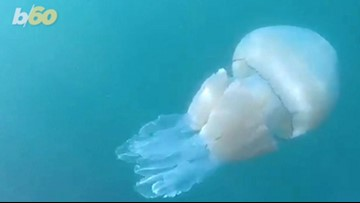 Second Giant Jellyfish Caught on Camera in British Waters (and It's 8 Feet Long!)