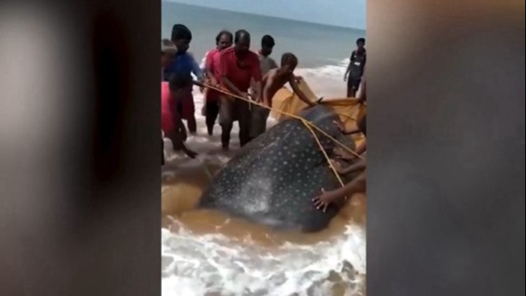 Pushing a Beached Whale Shark Back into the Water is Hard and These Citizens Are Heroes For Doing It!