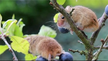 Must See: Cute Pictures of Harvest Mice Living in Mini Homes