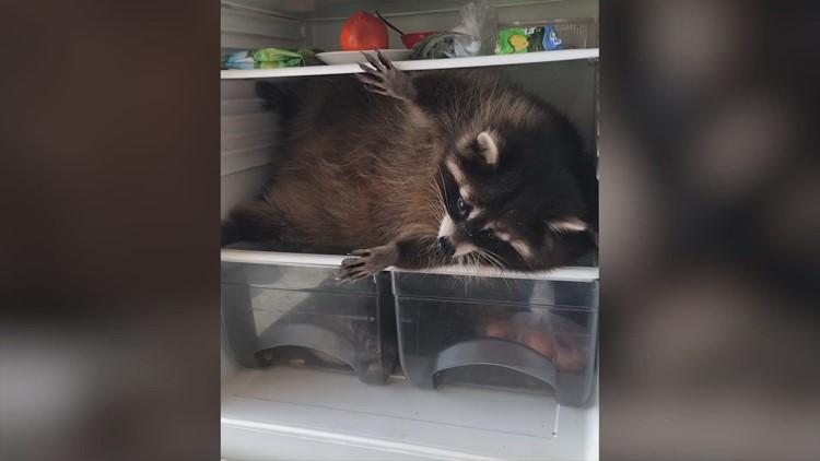 Homeowner Annoyed When Raccoon Ransacks Fridge!