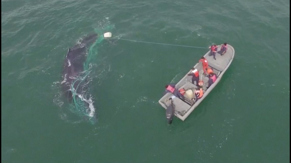 Dramatic video shows humpback whale rescued from fishing net