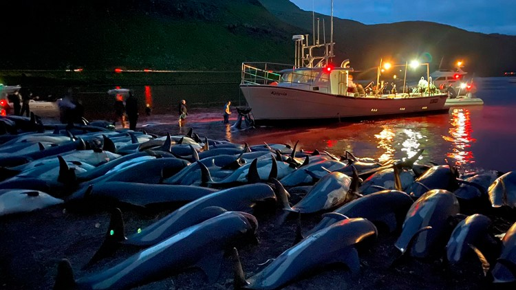 Animal rights group: Faroes should end dolphin slaughters