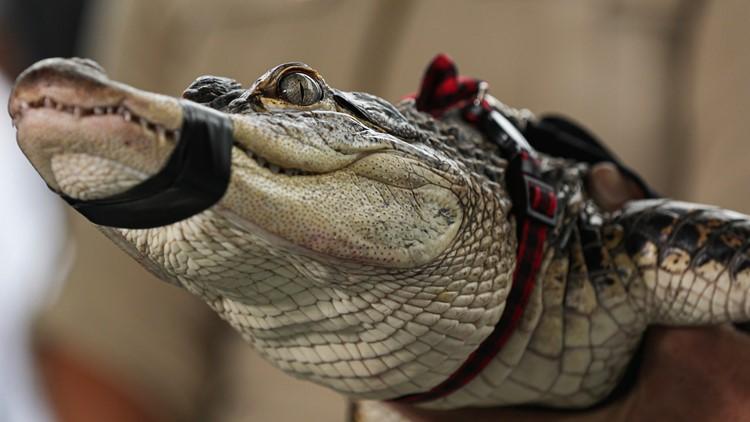 Alligator Chicago captured news conference July 16
