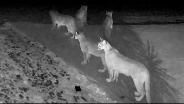 5 mountain lions together on video in rarely seen moment