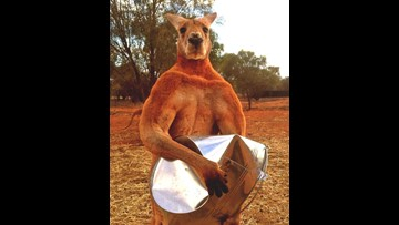 Roger, the giant kangaroo that looked like a bodybuilder, dies
