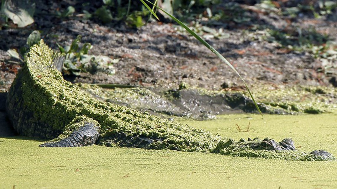 Vacationing kids cited for dragging Florida gator with noose