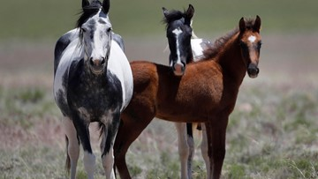 New pen in California may allow sale of horses for slaughter