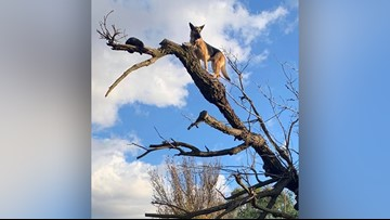 Firefighters rescue German Shepherd that chased cat up a tree