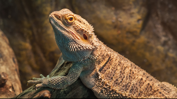 Girl brings pet bearded dragon to school so it wouldn't be sad at home