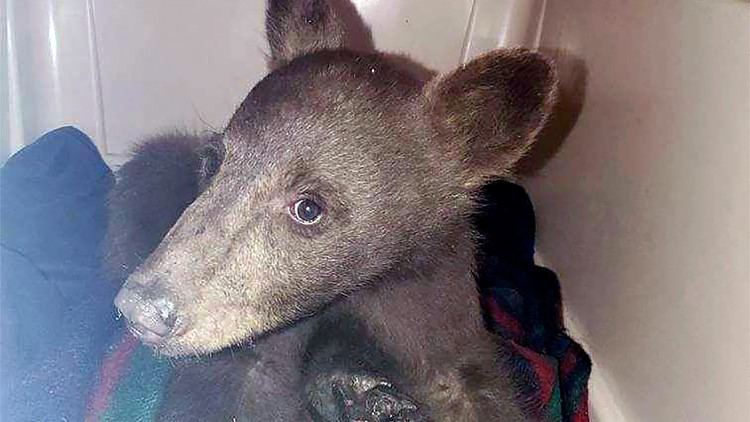 Bear cub burned in wildfire recovering at Lake Tahoe center