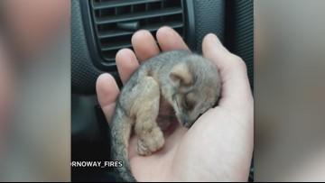 Baby Possum Rescued by Australian Farmer in Bushfire-Ravaged Region!
