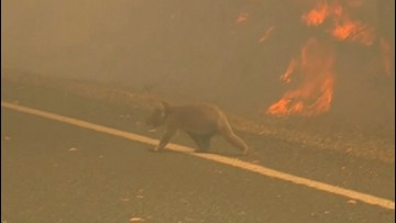 Woman races into wildfire to save the life of a burned koala