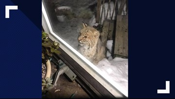 Curious bobcat visits couple's home in Glenburn