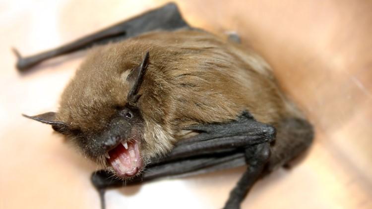 Rabid Bat Found In Muskegon County Home