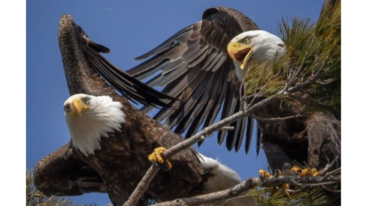Eagle couple in Cumberland County