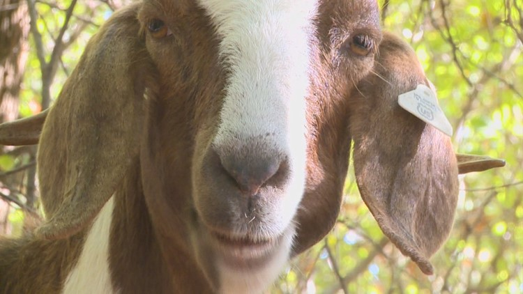 20 new, furry students will wander Aquinas College's campus this summer