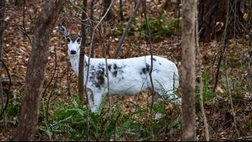 North Carolina man spots rare white deer in neighborhood