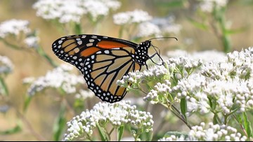 Michigan bill proposes making the monarch butterfly the state insect
