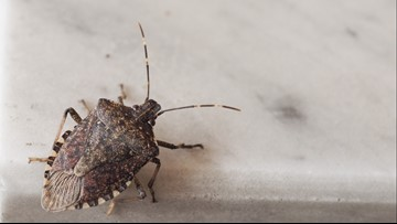 Research experiment suggests Polar Vortex may have killed large amount of invasive stink bugs