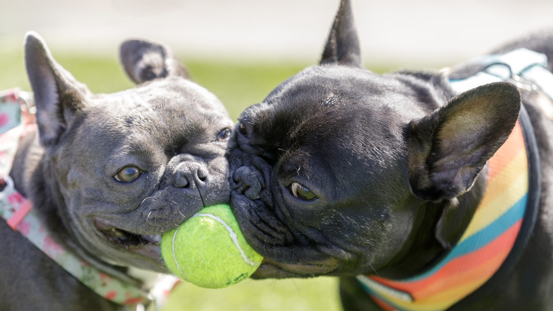 Stolen French Bulldogs from Ohio found, recovered in Ottawa County