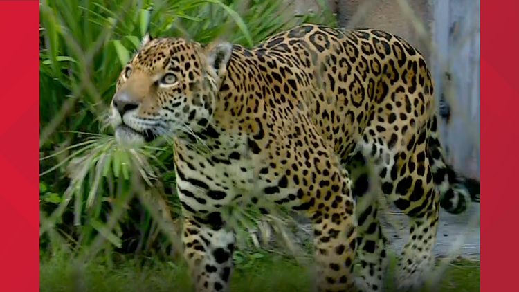 Man injured by jaguar at Jacksonville Zoo and Gardens