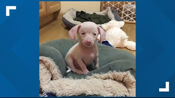 Meet Piglet. He's deaf, blind and also pink