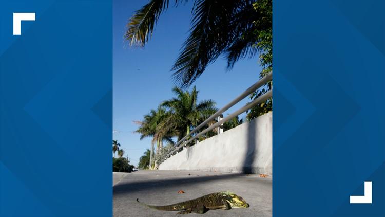 stunned iguana 2010