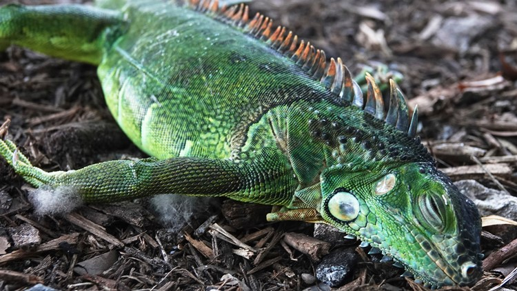 Photos: Frozen iguanas fall from trees as cold weather grips Florida
