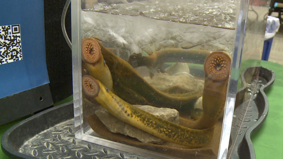Grand River restoration project leaders warn of sea lamprey threat
