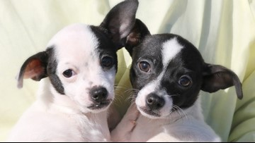 West Michigan puppies play their own version of the Super Bowl