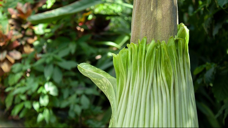 The corpse flower at Frederik Meijer Gardens getting ready to bloom for the first time in 18 years.