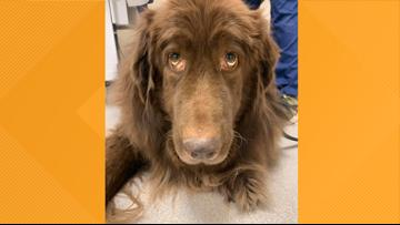 Shaggy, Cascade-area dog who was rescued in 2015, dies from cancer
