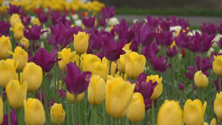 Tulip Time bringing back additional in-person events for 2021 festival