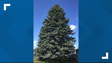 Official state Christmas tree headed to Lansing this month