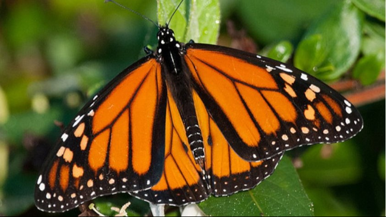 Wing and a prayer: Monarch butterfly fans seek official state status in Michigan