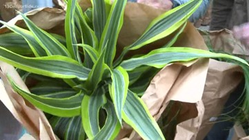 Green Thumb: Get the right kind of house plant