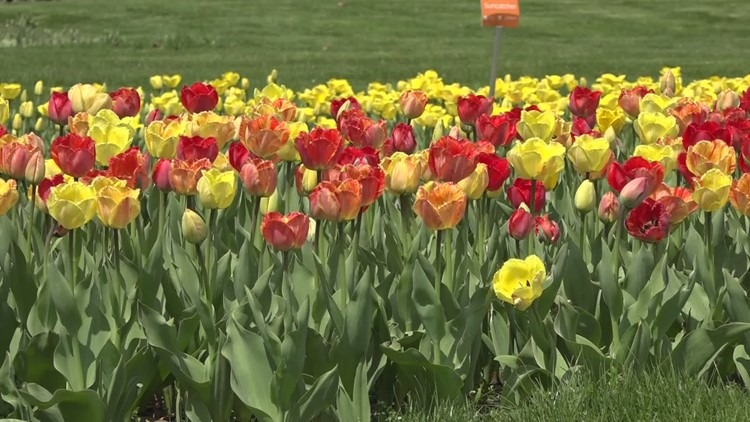 Tulip Time: Bring the festival to you