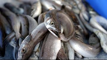 Florida company may build commercial eel farm in Michigan