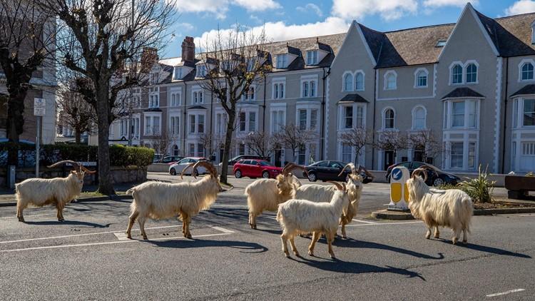 Un-baaaaa-lievable: Goats invade locked-down Welsh town