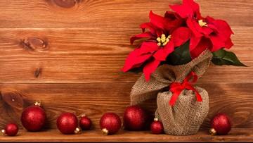 Greenthumb: Keep your Poinsettia looking beautiful all holiday season