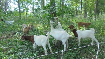 GRBJ: Aquinas may turn to goats to curb invasive species on campus