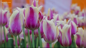 First Bloem gives glimpse of Tulip Time 2020