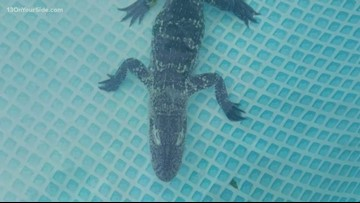 Alligator removed from Alpine Township home