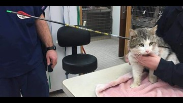 Arrow-addled cat rescued; hunt underway for assailant
