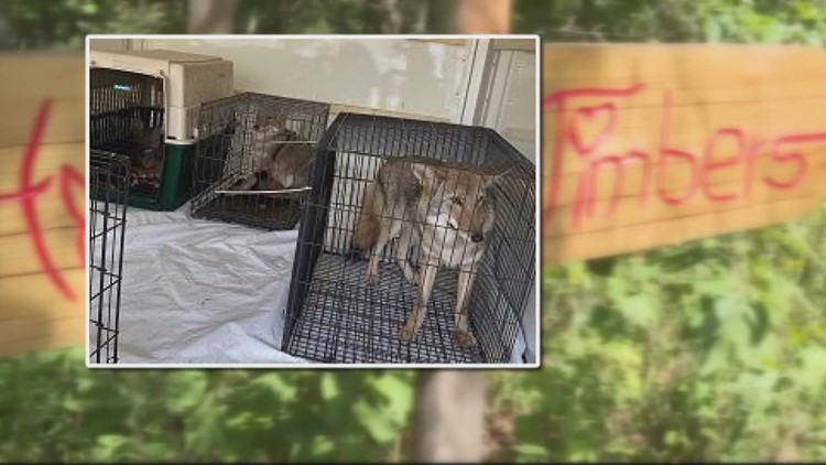 'There are only a handful of us that care about the dogs:' Woman granted 4 wolf dogs from Howling Timbers