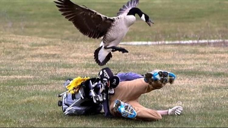 Goose attacks MI high school golfer during play