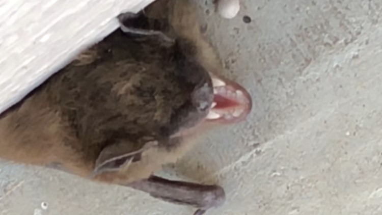 The Michigan Department of Health and Human Services says Michigan is experiencing an uptick in bats testing positive for rabies this summer.