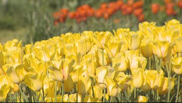 Tulip Time: Planting is hard, protecting the bulbs is even harder